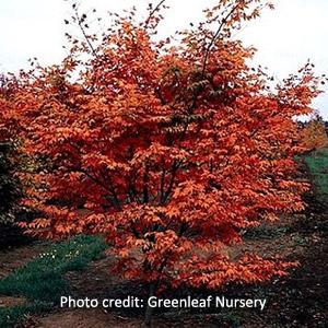 'Oshio-Beni' Japanese Maple Tree