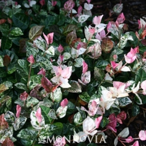 'Snow N Summer™' Asiatic Jasmine