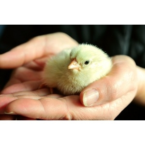 Chicks Arriving on Friday, May 27, 2016