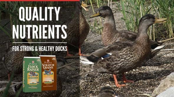 Purina Duck Feed
