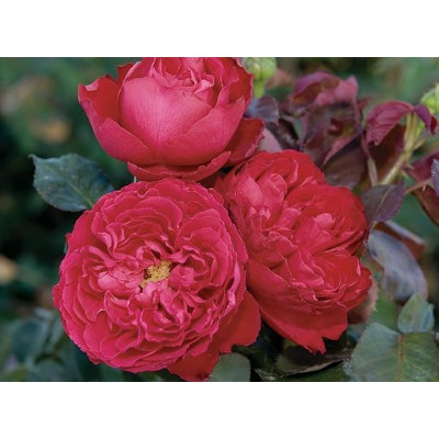 'The Traviata Romantica' Hybrid Tea Rose