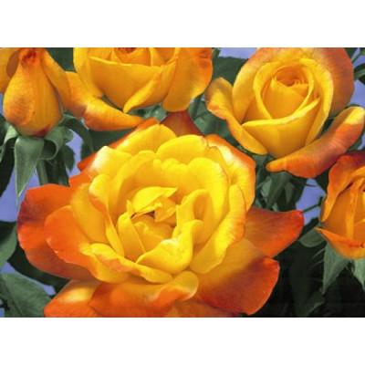 'Rio Samba' Hybrid Tea Rose