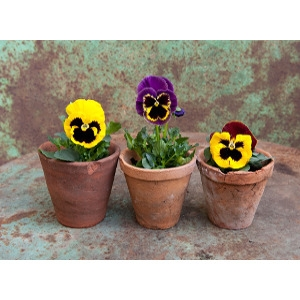 Pansy Packs and Planted Bowls