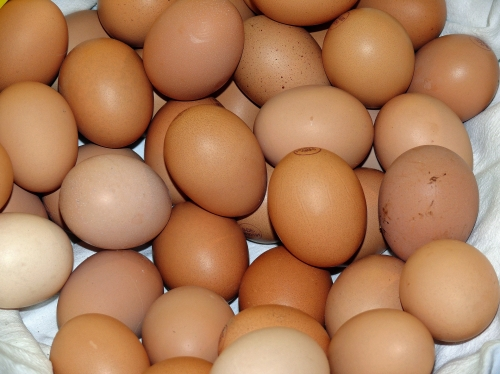 Buff Orpington Chicks
