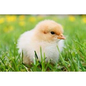 Straight Run Chicks