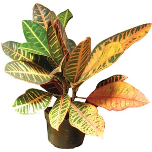 'Congo' Croton Houseplant