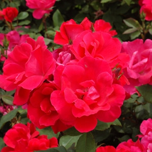 Roses - Click here for varieties