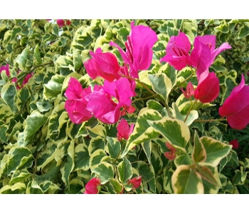 Ground Covers - Click here for varieties