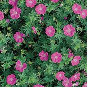 Alpenglow Geranium