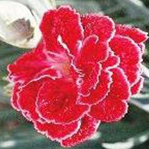 Rosish One Dianthus