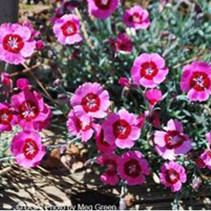 Peppermint Star Dianthus