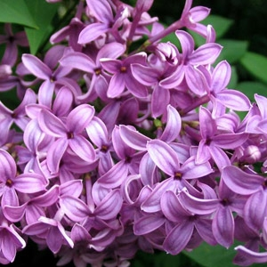 25% Off All Lilacs