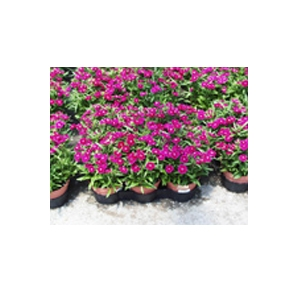 Cavicchio Greenhouses, Inc. Assorted 6