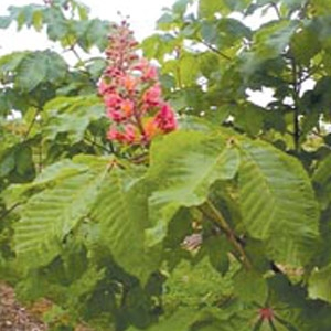 Briotii Red Horse Chestnut