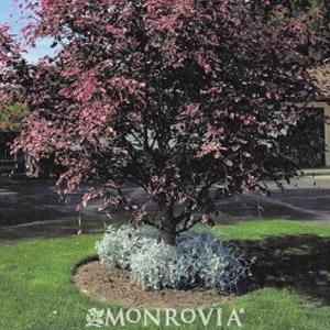 Monrovia Tricolor European Beech