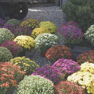 Fall Mums have Arrived!! $5.99 each or 4/$20.00