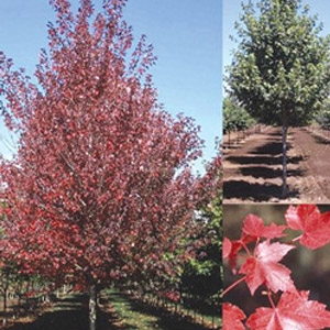 'Red Pointe' Red Maple Tree