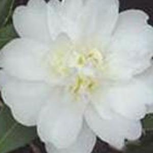 Snow Flurry Camellia