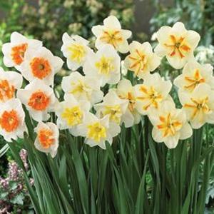 Van Bloem Narcissus Mount Hood 15 Pack