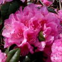 50% OFF Rhododendrons