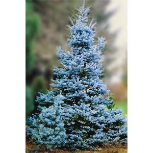 Prides Corner Potted Blue Spruce