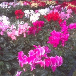 Beautiful Cyclamen
