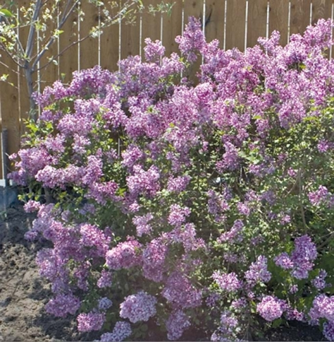 Bloomerang Dwarf Lilac