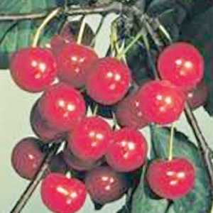 Fruiting Cherry Trees