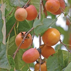 Persimmon Trees