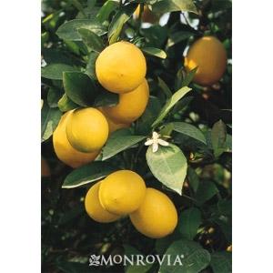Lemon 'Meyers'