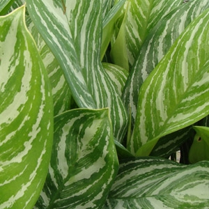 Aglaonema 'Chinese Evergreen Stripes'