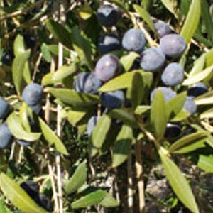 Arbequina olive tree cofer 39 s home garden showplace - Olive garden early bird specials ...