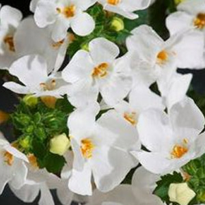 Bacopa 'Betty White Sutera Hybrid'