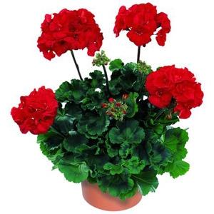 Geranium 'Tango Dark Red'