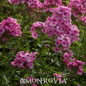 Phlox Volcano 'Pink Red Eye'