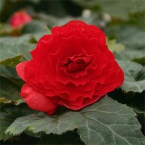 Tuberus Begonia 'Nonstop Deep Red' Begonia
