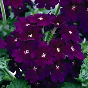 Verbena 'Lanai Deep Purple'