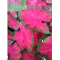 Now is the Time to Plant Caladiums