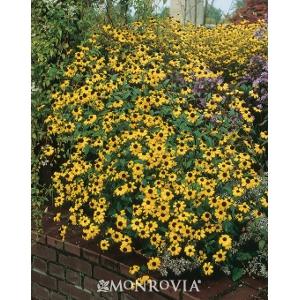 Perennial Rudbeckia 'Black-Eyed Susan'