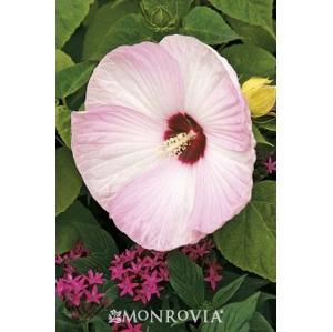 Hibiscus moscheutos 'Luna Pink Swirl'